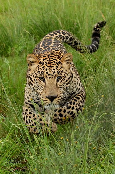 Young leopard charging. Photo taken at Rhino and Lion Park, Gauteng, South Africa.