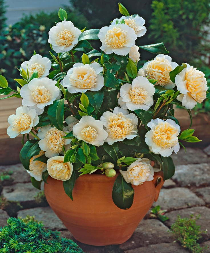 hardy camellia trees and shrubs from spalding bulb gardening container trees
