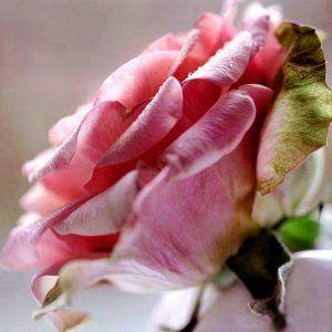 Fotos De Ramos De Rosas Hermosas