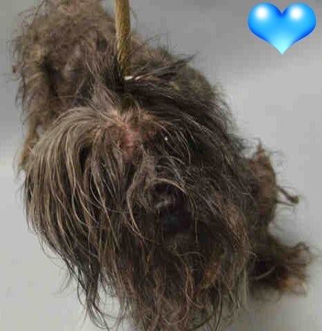RAY CAME IN WITH KESSIE❤️ SAFE 10-5-2016 by Anarchy Animal Rescue❤️ --- Brooklyn Center KESSIE – A1091834 UNKNOWN GENDER, GRAY, SCHNAUZER MIN MIX, 5 yrs STRAY – STRAY WAIT, NO HOLD Reason STRAY Intake condition EXAM REQ Intake Date 09/30/2016 http://nycdogs.urgentpodr.org/kessie-a1091834/