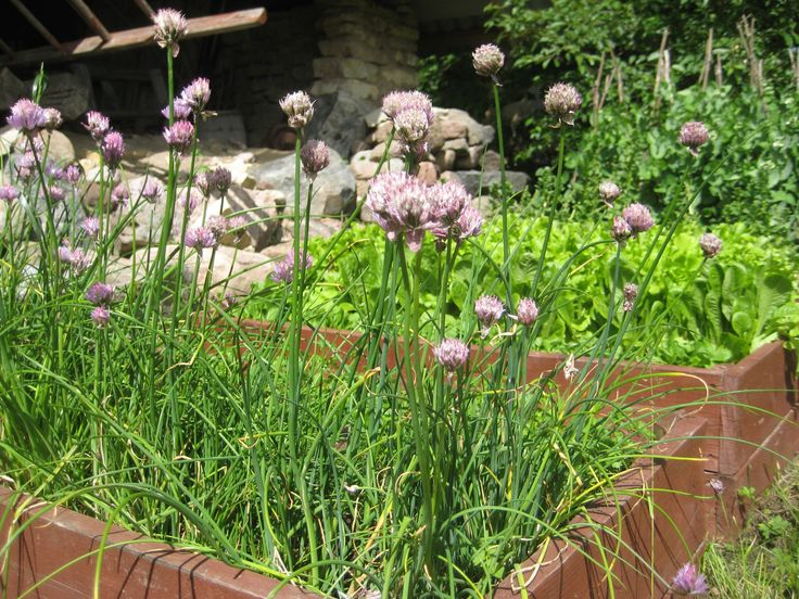 Chives flowering in a box container after having survived the winter frost second year in a row