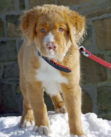 Scotie The Nova Scotia Duck Tolling Retriever
