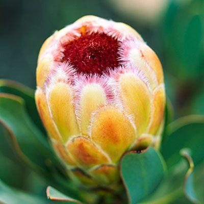 <i>Protea</i> 'Grandicolor' - 13 Stunning Proteas - Sunset