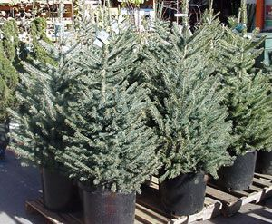 I will have a potted evergreen
