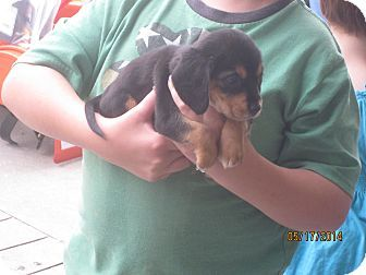 Chesterfield, VA - Redbone Coonhound/Rottweiler Mix. Meet Jet (CL) a Puppy for Adoption.
