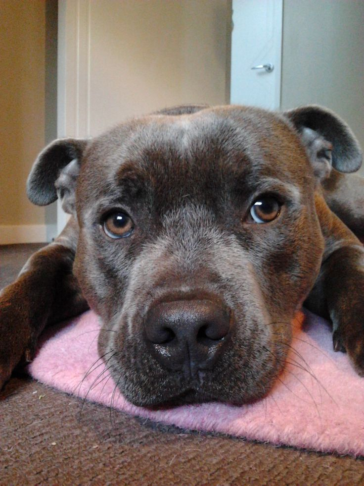 6 months old. Blue English Staffordshire Bull Terrier Face. Storm. Pink Rug..lol #staffy #cute #face