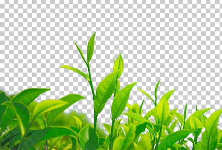 Green Tea Chrysanthemum Tea Leaf Camellia Sinensis Png Computer Wallpaper Energy Epigallocatechin Gallate Foo Chrysanthemum Tea Tea Leaves Leaf Background