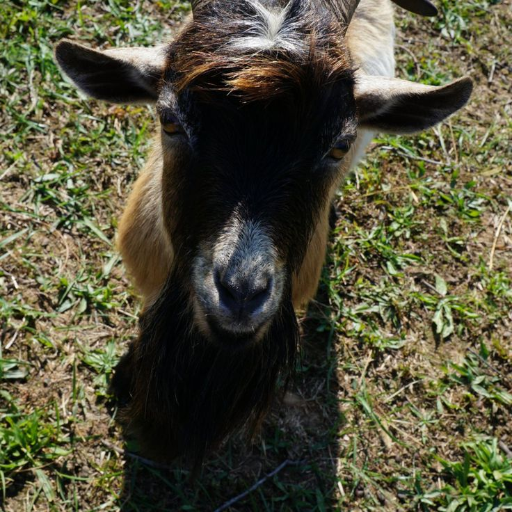 8 Things to Know Before Owning a Buck Goat Goats Milk Goats Buck Goat Nigerian Dwarf Goats