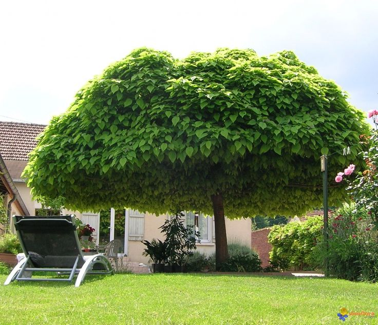 catalpa-boule-visoflora- One of my fav trees. I had one of these planted in front of my house in Utah.