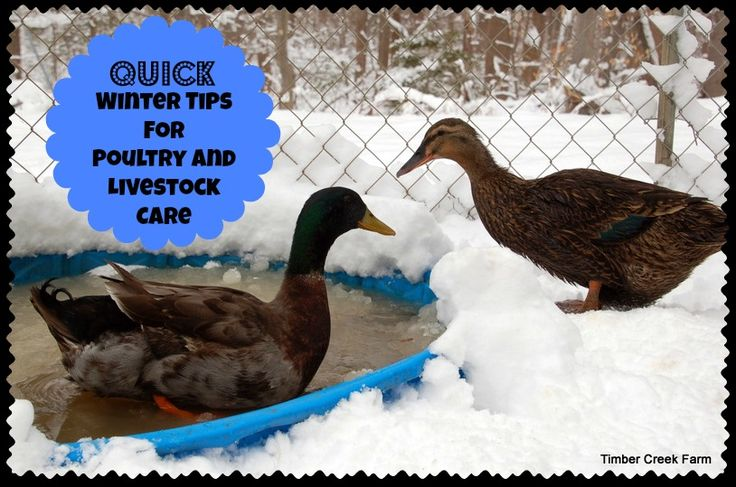 When the weather catches you unaware, take care of these Quick Winter Tips for Livestock and Poultry and keep your homestead running smoothly in the storm.