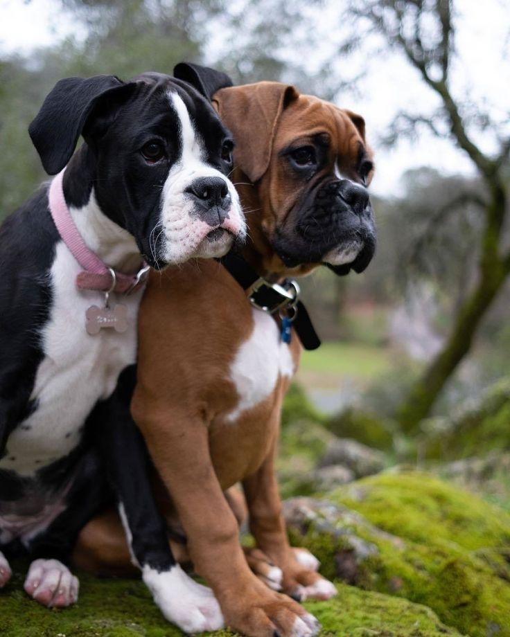 Boxer Love For Days Boxer Dog Cute Precious Adorable Dogmom Doggo Dogs Doggy Puppy Puppies Boxer Dogs Brindle Boxer Dogs Boxer Puppies