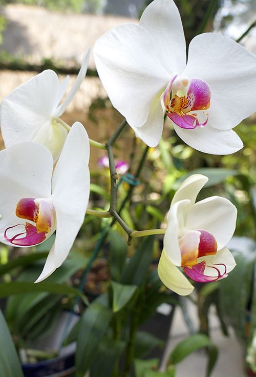 Mejores 11 imágenes de Orquídeas en Pinterest | En mexico ...