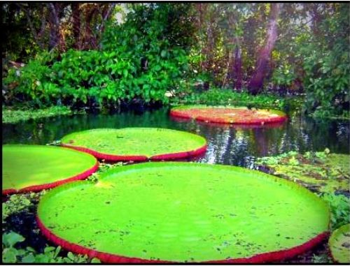 Huge lily pads on the Amazon, Peru.