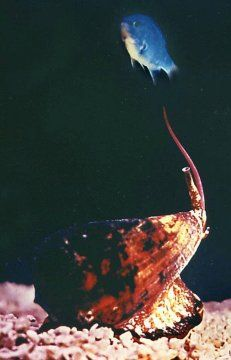The cone snails are predators of the sea. They capture fish by injecting a venom into the prey that consists of a cocktail of different substances. The single components of the snails' venom, so-called conopeptides, are known for their extraordinary pharmacological properties and potential.