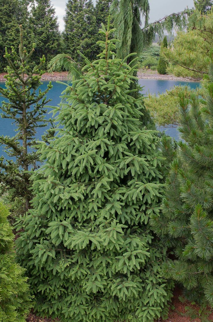 Picea abies 'Remontii' Four sided needled, both sides have stomata, needles entire around, not stiff needles, looser, more dull than otientalis