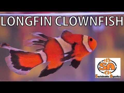 59 best solana reef tank images on pinterest reef aquarium fish longfin clownfish from sustainable aquatics youtube fandeluxe Choice Image