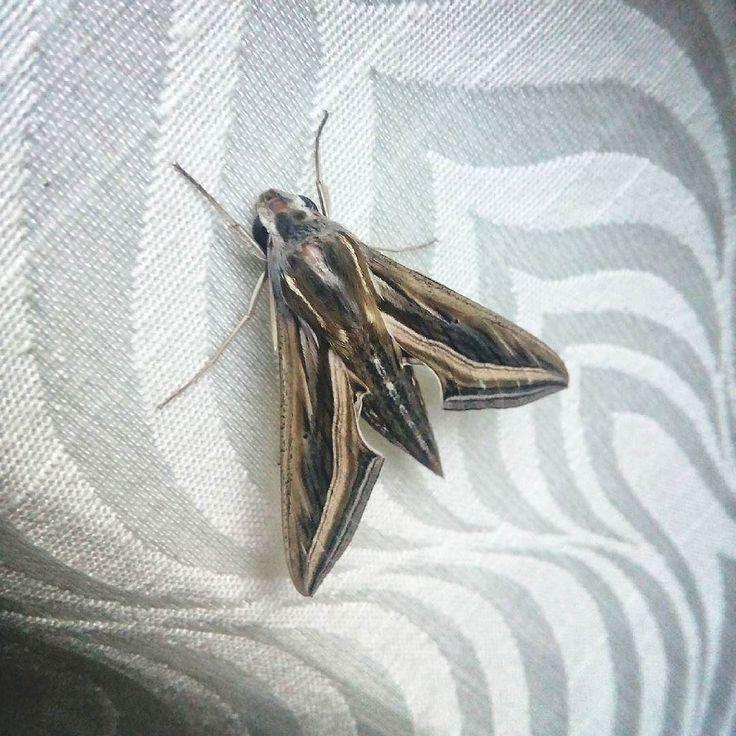 #moth #Brown #night #light #Mysore