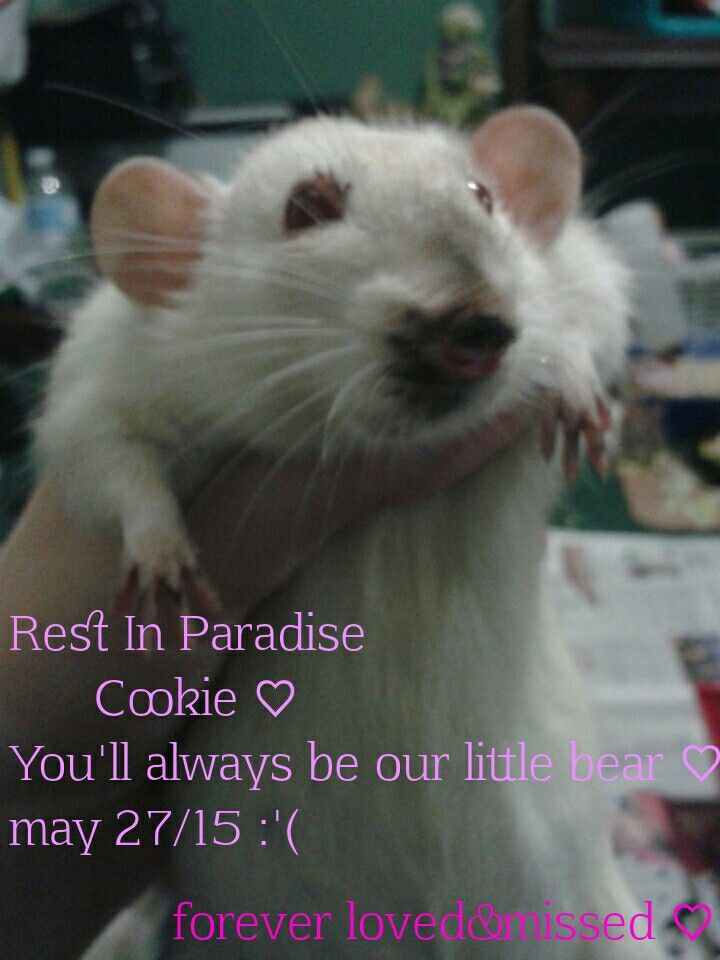 For the past couple months our baby cookie has been sick with an ear infection she went through treatments and got better we gave her a fighting chance when the vets didn't want to. To nights ago she got sick again and she passed away today. If you ever see anything out of the ordinary please go get your rat checked give her a chance like we gave cookie without her treatment and the help from a rat rescue a lady named Jenny. Cookie wouldn't have made it this far we gave cookie a fighting…