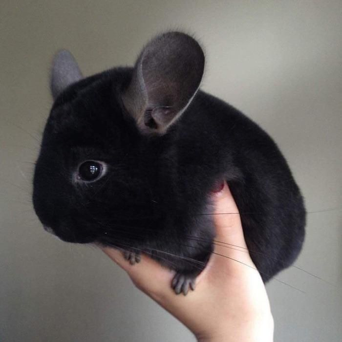 Black Chinchilla Fluff Ball Music Indieartist Chicago Cute Animals Fluffy Animals Chinchilla Pet