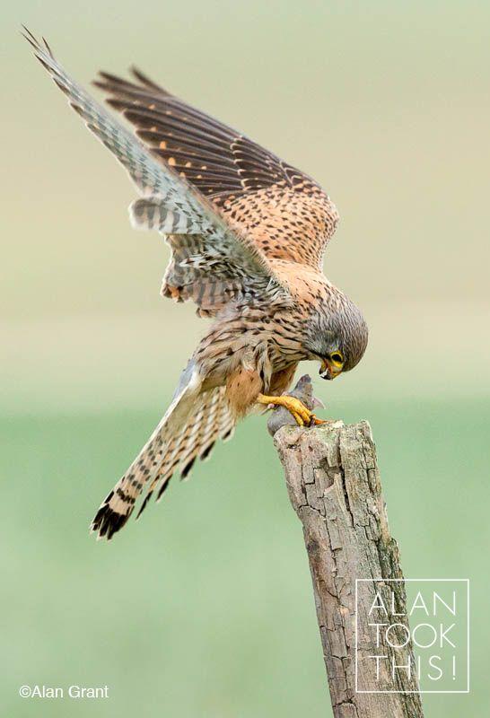 Kestrel with prey.