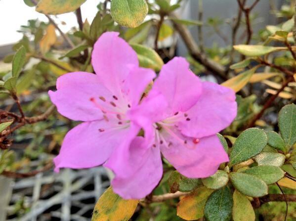 Rhododendron eriocarpum var. tawadae センカクツツジ(尖閣躑躅)