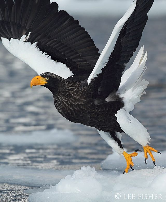'LIFT OFF' - A Steller's sea eagle takes off from the ice floes in the sea of Okhotsk in northern Japan. By @leefisher_wildlife  #eagle #japan #hokkaido