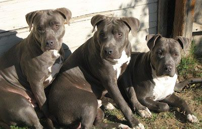 Georgia, Duke, and Caine blue nose Pitbull Terriers