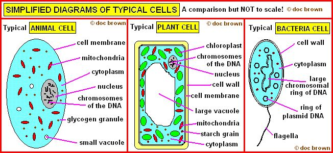 Plant And Animal Cells Not Labeled