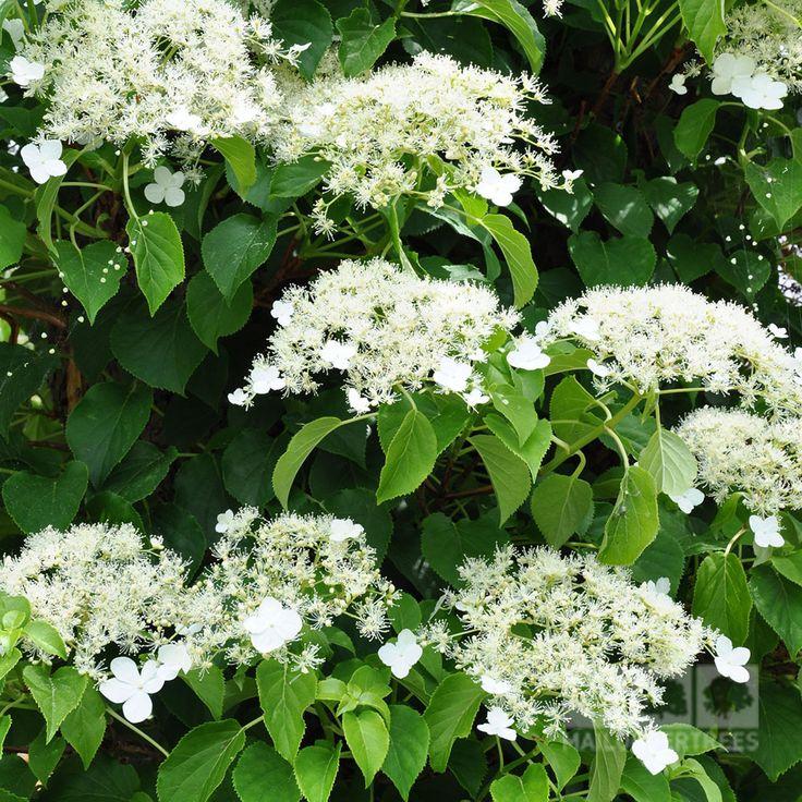 25 best ideas about hydrangea petiolaris on pinterest - Hydrangea petiolaris ...