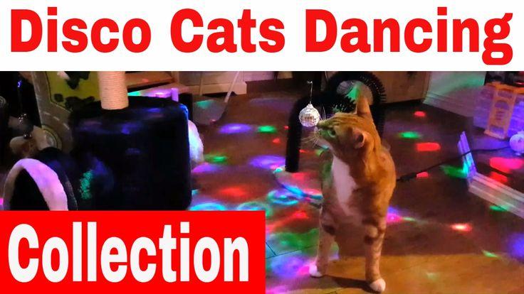 Disco Cat - Catnip - Cat Dancing - Cat singing
