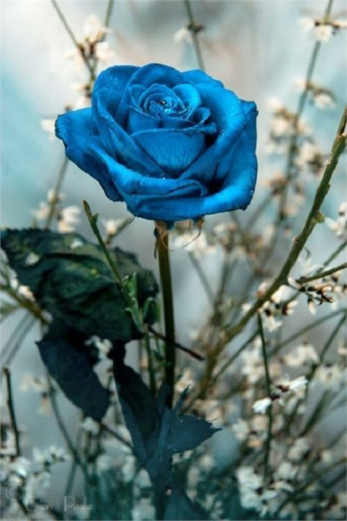 Blue Rose - Faraban Eryaucra's blue roses do not exist in our world. A blue rose can be made by dying a white one, but a true blue rose is genetically impossible.