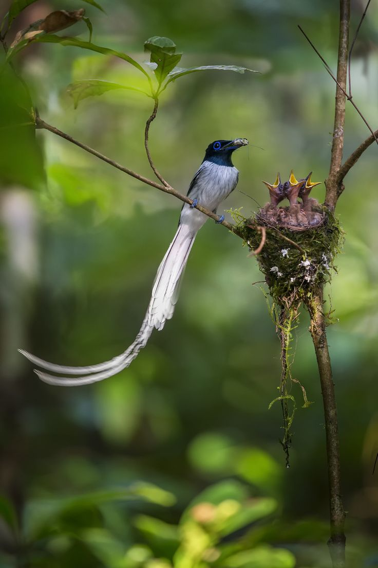 --Asian Paradise Flycatcher--  is a medium-sized passerine bird native to Asia. Males have elongated central tail feathers, and in some populations a black and rufous plumage while others have white plumage. Females are short-tailed with rufous wings and a black head. They feed on insects, which they capture in the air often below a densely canopied tree.