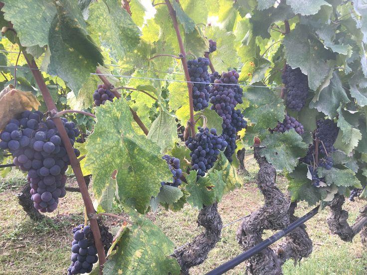 Wine grapes of Xinomavro during a wine and hike tour. #trigiro #experience #NorthGreece #taste #wine