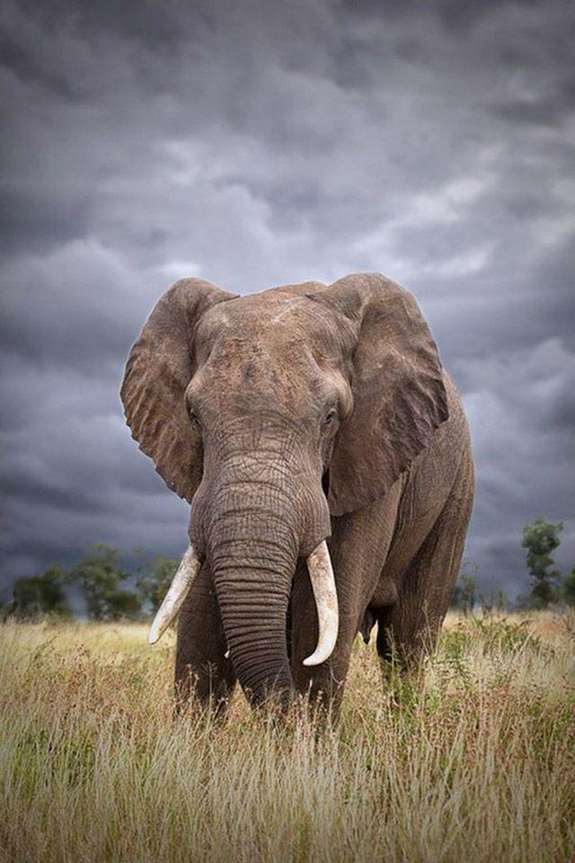 Best 25 elephant phone wallpaper ideas on pinterest - Elephant background iphone ...