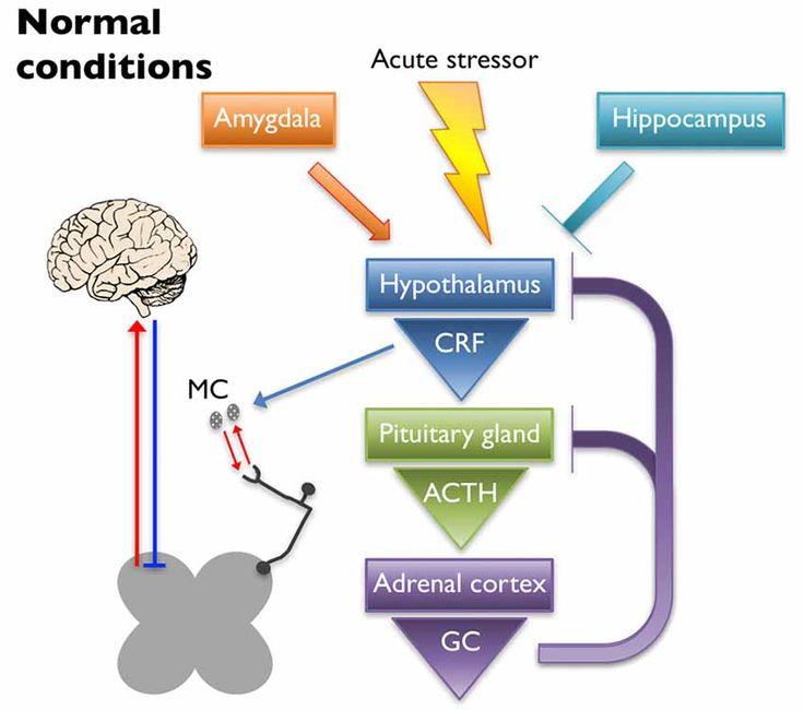 Normal Brain-Adrenal cortex interaction