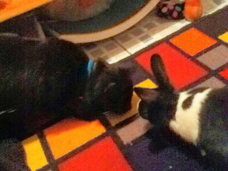 My cat Chuckie and my bunny Roger getting along!