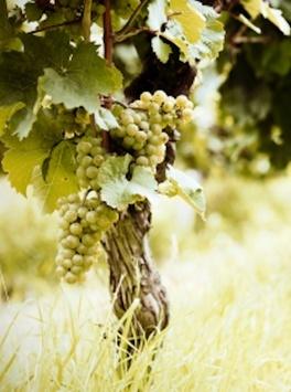 uva e vino #lagodigarda #gardasee #gardameer