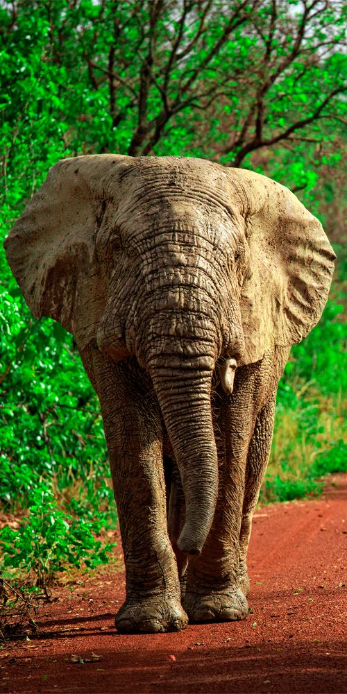 African elephant in Mole National Park #Ghana