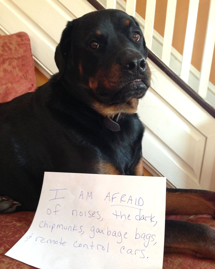 Remote Control Dog >> My BIG Scary Rottie ... Otto had to do my own Dog Shame pic lol | Rottweiler, Rottweiler puppies ...