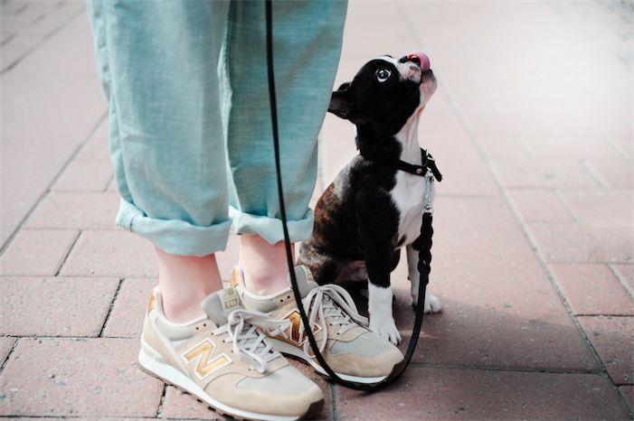 tiny boston terrier puppy