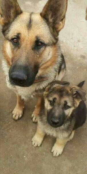 Pretty German Shepherd mommy and her baby pup with its cute little soft floppy ears. Love this pic
