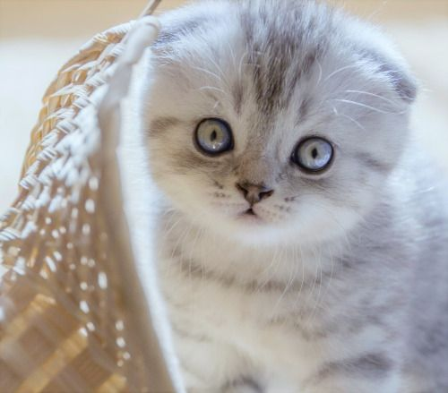 scottish fold kitten, my favorite! One day you'll be mine