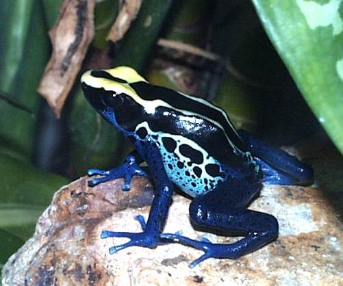 Dyeing Poison Arrow Frog (Dendrobates tinctorius) | Frogs ... Poisonous Green Frogs In Texas