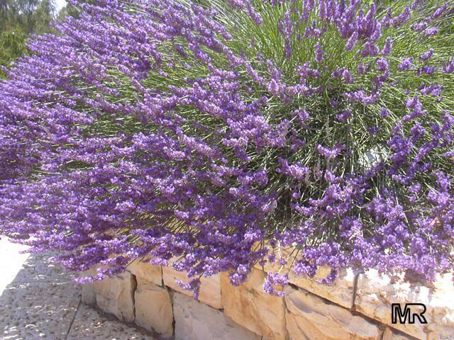 plants for sunny dry location | be used for bonsai we have this plant for sale