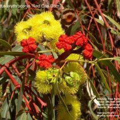 Eucalyptus erythrocorys 'Red Cap Gum' 8m