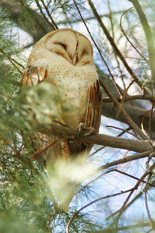 Photograph of Barn Owl ~ SLEEPING BUT LOOKS LIKE A SMILE ~