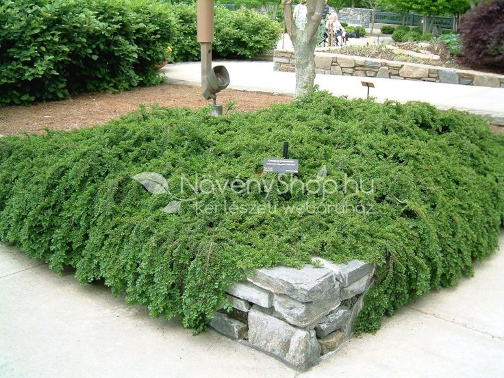 Cotoneaster dammeri Streibs Findling Alacsonyan elterülő, kiváló talajtakaró…