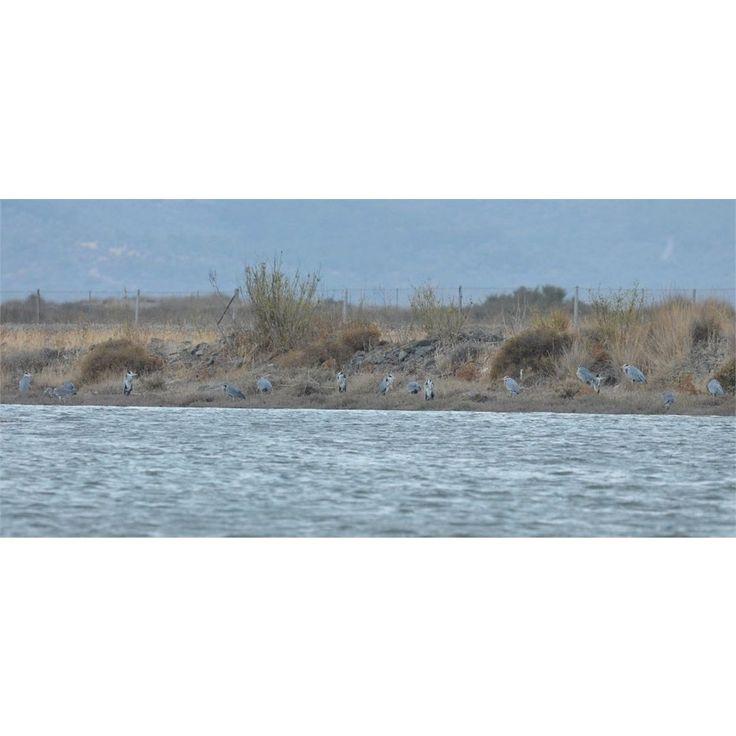 Πηγή: lesvosbirdnews.org - Early October by the Kalloni Salt Pans http://bit.ly/2iCaTYO Juvenile Flamingoes becoming secretly pink below the wing!  Autumn is well here with the first real rain on the night of 7/10 and things are much different in the Kalloni Pans- although the rest of wetlands are as dry as in August The large flocks of Avocets (400) of September are gone herons and egrets making their passage and pelicans to be always around. Here are the most interesting sightings I had…