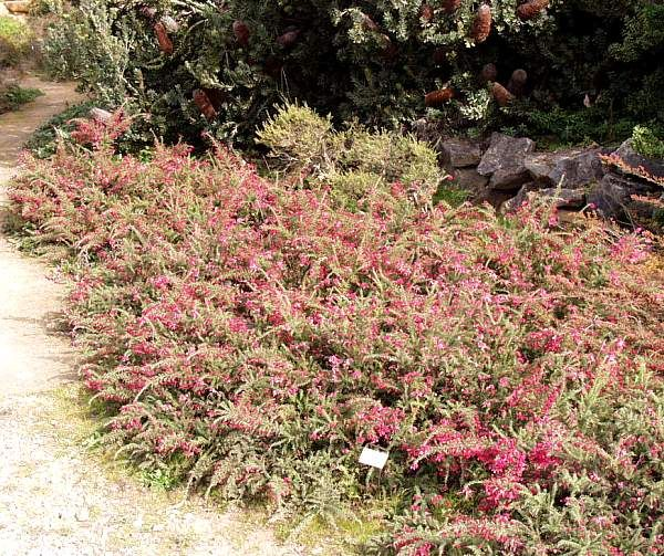 Grevillea 'Coastal Gem' 1' x 4', pink flowers winter to late spring, Full sun to light shade, hardy to frost, deer resistant, hummingbirds love it