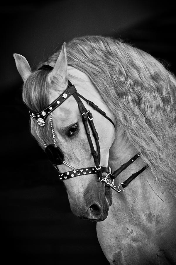 Azteca horse Pura Raza Espanola Yeguada Herrera Caballos Espanoles Caballos Bailadores Andalusian Lusitano Lippizzaner spanish horse Piccador Vaquero Charro PRE